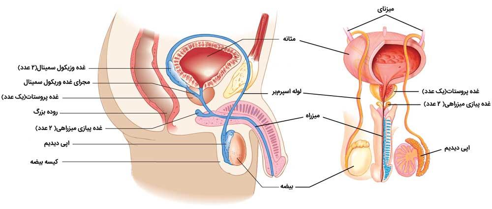 آناتومی اندام تناسلی مردان
