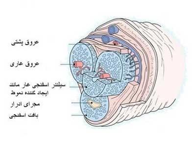 ساختار آلت تناسلی در مردان